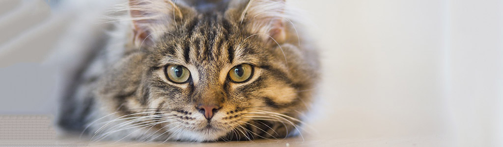 Owning a Cat Improves Health and Cholesterol Levels